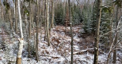 snow-covered forest with aspen, birch, and fir