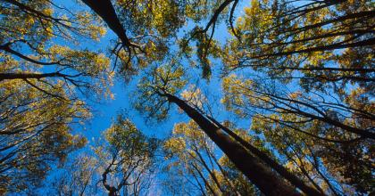 View of tree canopy looking up